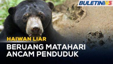HAIWAN LIAR | Penduduk Bimbang Beruang Matahari Masuk Kampung